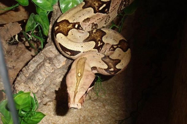 männliche Rotschwanzboa aus Surinam