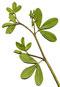 Indigo leaf