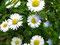 Inzwischen sind es mehr als nur ein Gänseblümchen. Die ganze Wiese ist voll! - Inbetween we have more then one daisy. The whole meadow is full of them now.