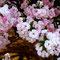 cherry blossoms @nomigawa ryokudo / Tokyo