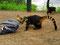 Frech - Nasenbären auf Nahrungssuche bei den Iguazu-Wasserfällen
