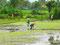 Mühselige Handarbeit - Reisbauern auf gewässerten Nassreisfeld