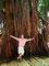 Tropisch - Urwaldbaum mitten in KL