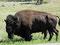 Stattlich - Chefbulle der Büffelherde im Custer State Prk