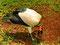 Königsgeier sind in Südbrasilien häufig zu finden