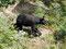Endlich - Schwarzbär am Straßenrand auf Beerensuche