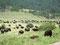 Freier Auslauf - Grasende Bisons im Custer State Park