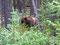 Hautnah - Grizzlybär in der Nähe des Maligne Lakes
