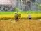 Gemeinschaftsarbeit - Auf den Reisfeldern helfen sich die Kleinbauern gegenseitig