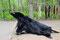 Ein großer Schwarzbär