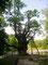 Stelmužės Eiche (Stelmužės ąžuolas)