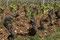 Burgund - Weinstöcke im Frühjahr