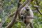 Im Wald beim  Tempel leben zig hundert dieser kleinen, vorwitzige Affen.