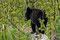 ... der absolute Höhepunkt ... neben dem Weg spielten effektiv drei junge, wilde Bären ....