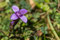 Stanserhorn - Alpenblume