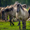 Wildpferde im Merfelder Bruch, Dülmen-Merfeld