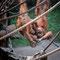 Leipzig: Zoo spielende Orang Utans