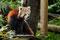 Gelsenkirchen: Zoom Erlebniswelt, Kleiner Panda