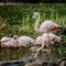 Hamburg: Tierpark Hagenbeck, Flamingos