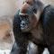 Leipzig: Zoo Gorilla Silberrücken