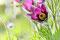 Pulsatilla (Hahnenkleegewächs, Kuh- oder Küchenschelle