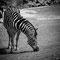 Tierpark Hagenbeck: Grasendes Zebra