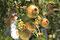 Granatäpfel in Pollonia