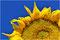 """Platz 9 Guido Fecht  / """"Sonnenblume"""""""