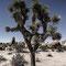 Joshua Tree - 2012, 90x60cm, fineArt print auf GlossArtFibre kaschiert, auf 4mm AluDiBond, Schattenfugenrahmen Nussbaum massiv