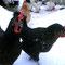 Die Hennen sind weit mutiger ;) (Speedy und Goldie)