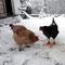 Nun - am Nachmittag, doch ein paar mutige Hühner ..