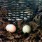 Zwei Eier sind schon im Nest, und ...
