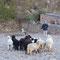 Moutons attendant les instructions du berger des Pyrénées