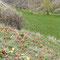 Tulipes sauvages