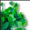 Coriander medicinal plant