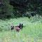 ...nein, zwei Bären! Nicht selten gibt es in dieser Gegend braune und schwarze Bären.