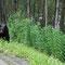 Schwarzbär direkt neben der Strasse