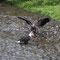 Der junge Weisskopfseeadler schnappt dem älternen die Fischreste weg