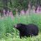 Der Schwarzbär hebt die Nase und riecht, ob die Luft rein ist zum Weiterfressen