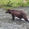 Wenig später kommt dieses halbwüchsige Grizzlymännchen den Fluss hinauf