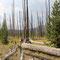 Auf Wanderungen im Yellowstone treffen wir nicht selten auf abgebrannten Wald