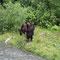 Der junge Grizzly ist wachsam und schaut den Fluss hinunter, ob sich vielleicht ein anderer Grizzly nähert