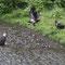 Ein junger Weisskopfseeadler mit gespränkelten Federn will sich ebenfalls bedienen