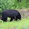 Immer wieder aufregend sind die Bärenbegegnungen