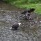 Der ältere Weisskopfseeadler überlässt dem jüngeren seine Mahlzeit