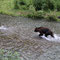Vor dem Grizzly her schwimmend, sieht man den Lachs