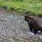 Wo ist er jetz, der Lachs? Denkt sich der Grizzly wohl gerade.