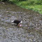 Auch der Weisskopfseeadler bedient sich der Überreste