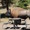 Besuch von einem Bisonbullen auf dem Campingplatz
