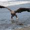 Ein Greifvogel schnappt sich einen Fisch …